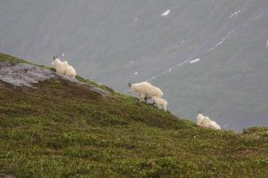 mt ripinsky hiking with mountain goats on the ridge above Haines alaska