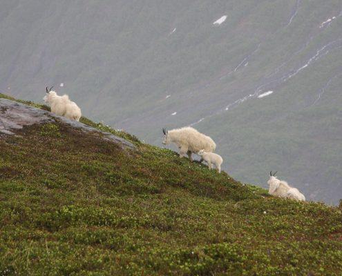 mt ripinsky hiking with mountain goats on the ridge above Haines alaska
